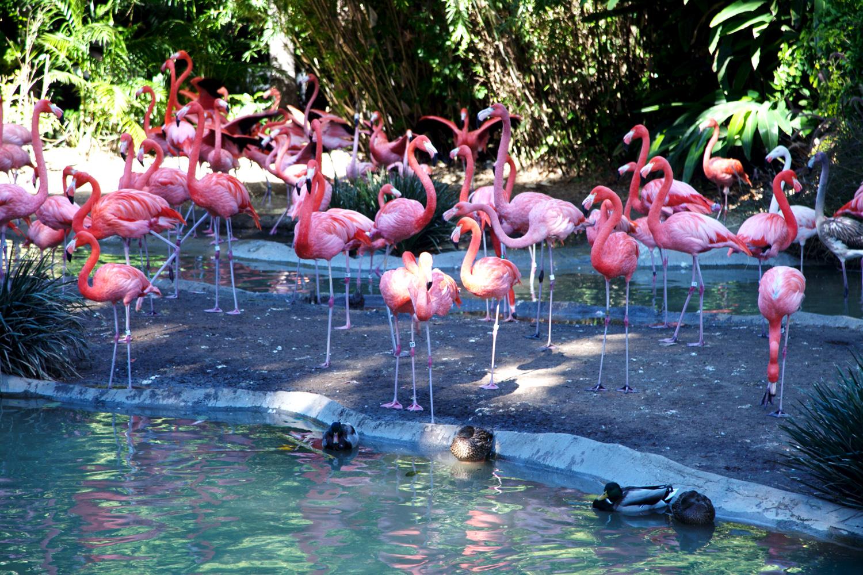 Pink Flamingo San Diego Zoo